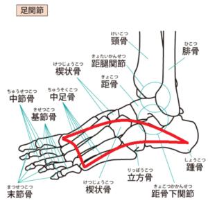足の骨名称とカーブライン