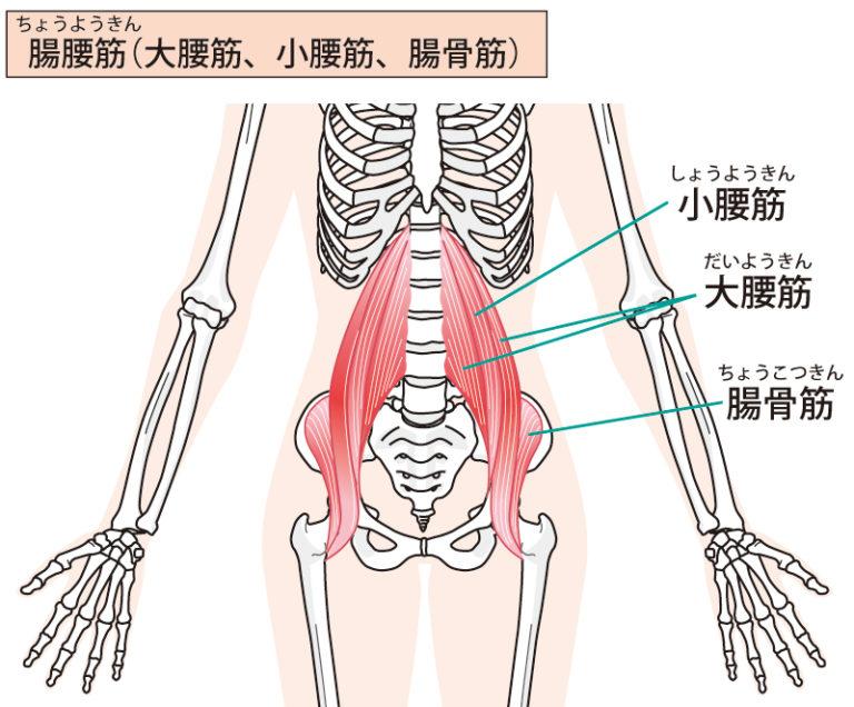 腸腰筋(大腰筋、小腰筋、腸骨筋)がどのように骨についているかのイラスト